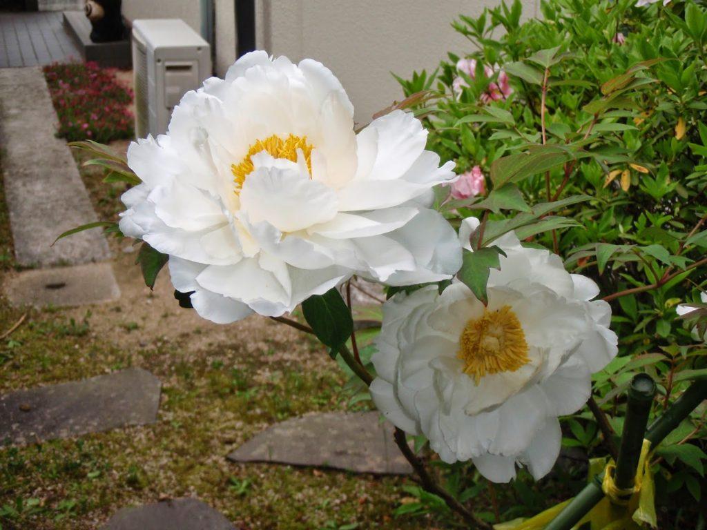 満開の牡丹 /  春を頂く3