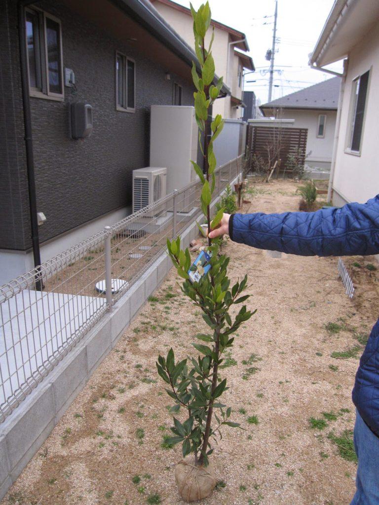 月桂樹見つけました!!早速、わが庭に